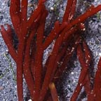 Red Bamboo Algae