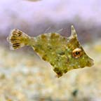 Aiptasia Eating Filefish, Captive-Bred, Biota
