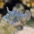 Biota Captive-Bred Radial Filefish