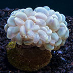 Pearl Bubble Coral, Aquacultured ORA®