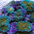 Green and Orange Ricordea Mushroom Coral