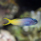 Biota Captive-Bred Forktail Blenny