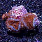 Bullseye Rhodactis Mushroom Coral, Red & Blue Superman