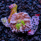 Purple/Green Ricordea Yuma, Aquacultured ORA®