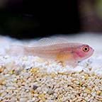 Ring Eyed Goby, Captive-Bred, Biota