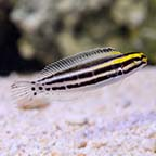 Biota Captive-Bred Striped Blenny