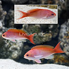 Red-Bar Anthias