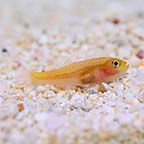 Yellow Trimma Goby, Captive-Bred, Biota