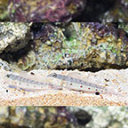 Sleeper Striped Goby