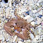 Porcelain Crab (Build Your Own Kit)