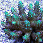 Acropora Coral, Brown