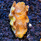 Gigas Clam, Aquacultured