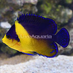 Purple Masked Angelfish EXPERT ONLY