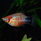 Bleeding Heart Platy