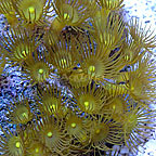 Colony Polyp, Yellow (Maricultured)