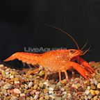 Sunburst Fire Lobster