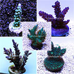 Acropora Frag Pack - Aquacultured ORA®