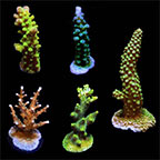 ORA® Aquacultured Assorted Acropora Frag 5 Pack
