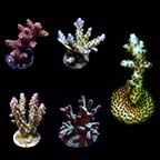 Assorted Premium Acropora Frag 5 Pack, Aquacultured ORA®