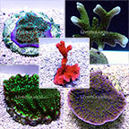 Montipora Frag Pack - Aquacultured ORA®