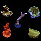 Assorted Montipora Frag 5 Pack