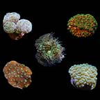 Assorted LPS Frag 5 Pack, Aquacultured ORA®