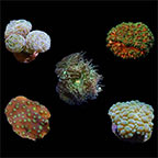 ORA® Aquacultured Assorted LPS Frag 5 Pack