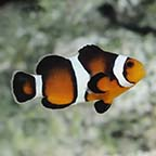 ORA® Captive-Bred Fancy Ocellaris Clownfish