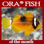 Clarkii Clownfish, Deluxe - Captive-Bred, ORA®