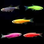 Aquatic Life Assorted Glofish® 10 Pack