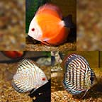 Assorted Premium Discus