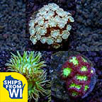 ECC Premium Aquacultured LPS Frag Packs