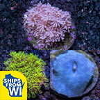 ECC Premium Aquacultured Beginner Coral Packs