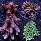 Assorted Aussie Acropora Coral 3 Pack