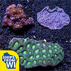 Assorted Tongan LPS Coral 3 Pack