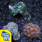 Assorted Tongan Beginner Coral 3 Pack
