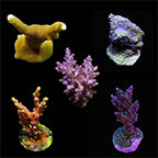 ORA® Aquacultured Assorted Micronesian Summer SPS Coral Frag 5 Pack