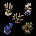 ORA® Aquacultured Assorted Micronesian Welcome SPS Coral Frag 5 Pack