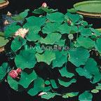 Momo Botan Lotus