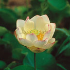 Lotus Plants: Water Lotus Plants for Ponds