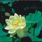 Lutea Lotus