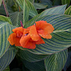 Orange Variegated Canna
