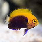 Flameback Angelfish, Captive-Bred ORA®