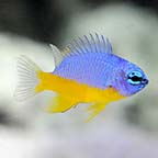 ORA® Captive-Bred Azure Damselfish