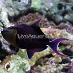 Niger Triggerfish