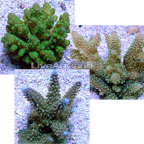 Bright Color Fiji Acropora Pack
