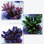 Millepora Acropora Coral