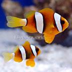 Clarkii Clownfish, Captive-Bred