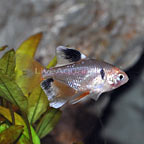 Red Minor Serpae Tetra