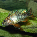 Peacock Cichlid, Orange Blossom